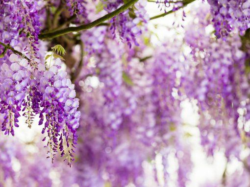 Gėlės nuotrauka. (Pavadinimas: Wisteria)