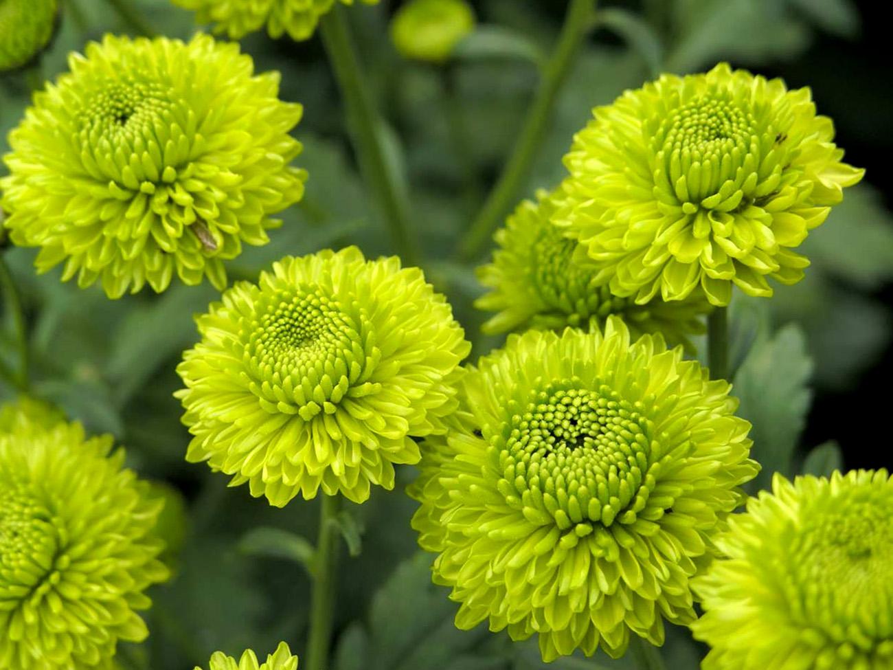 Žalios chrizantemos