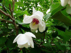 Ziboldo magnolija (magnolia sieboldii)
