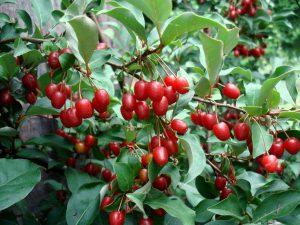 Žilakrūmio vaisiai (uogos)