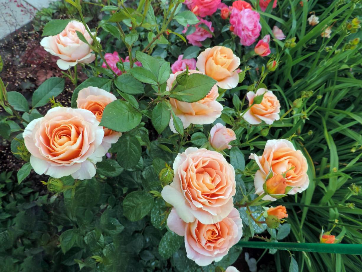Žydinti rožė