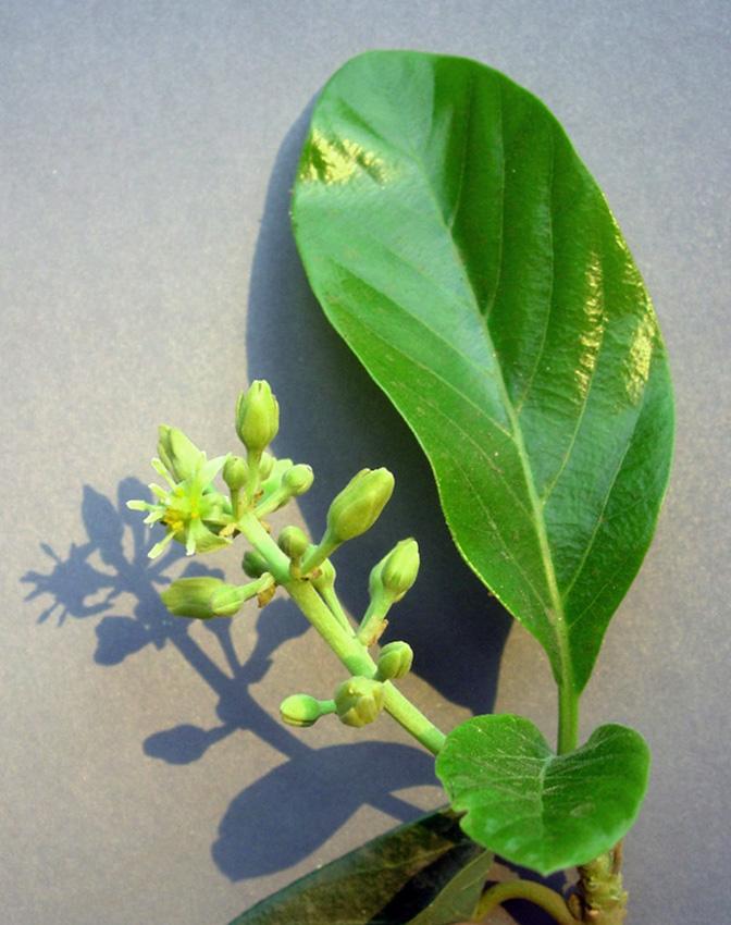 Žydintis avokado medis (Persėja)