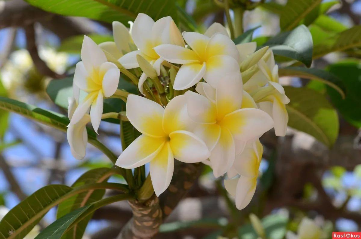 Žydintis medelis (Jostras arba Plumeria)