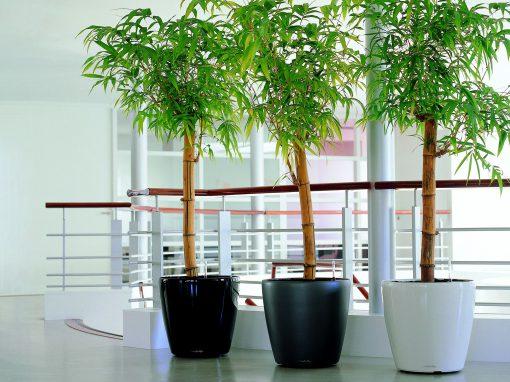 Gėlės nuotrauka. (Pavadinimas: Bamboo)