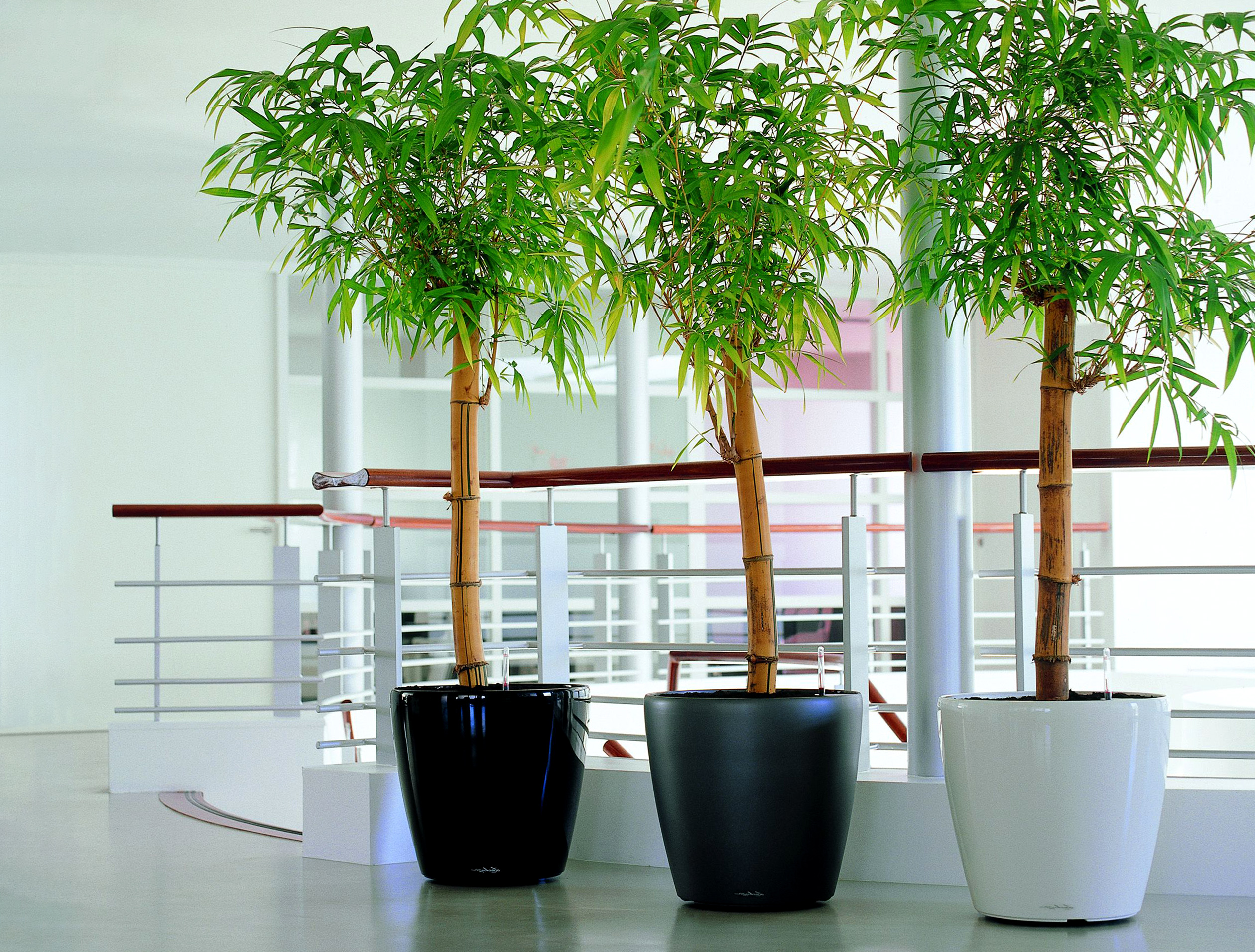 Augalas Bambukas