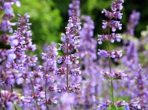 Gėlės nuotrauka. (Pavadinimas: Catnip)