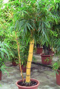 Augalas Bambukas (Bambusa vulgaris)