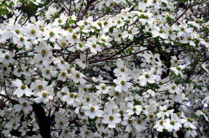 Gausiažiedė sedula (Cornus Florida)