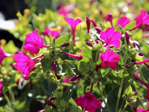 Gėlės nuotrauka. (Pavadinimas: Four o'clocks)