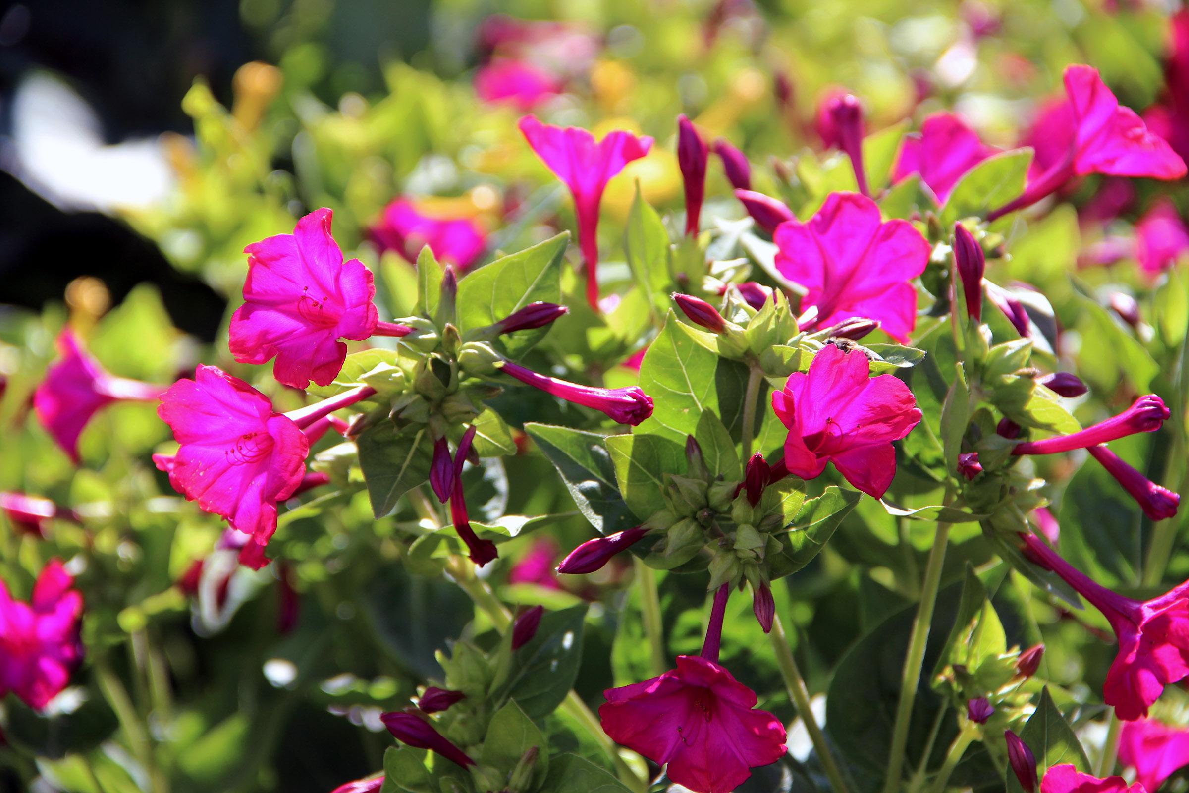 Gėlė dyvinutė (Mirabilis)