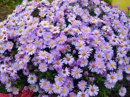 Gėlės nuotrauka. (Pavadinimas: Bushy Aster)