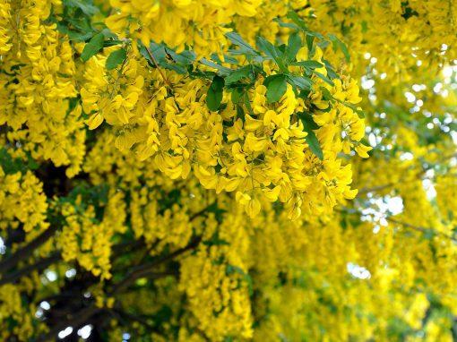 Gėlės nuotrauka. (Pavadinimas: Golden chain tree)