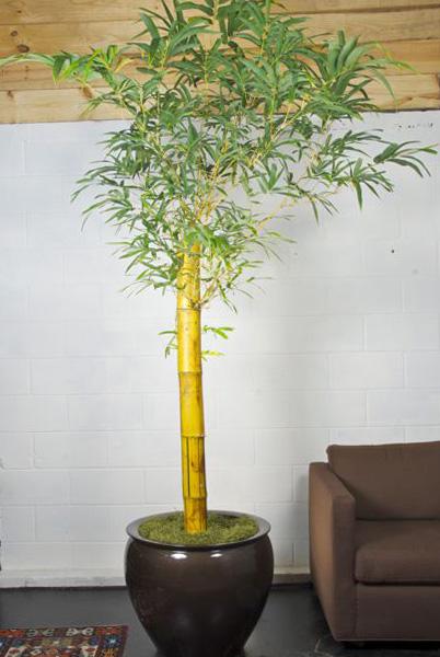 Kambarinis bambukas vazone