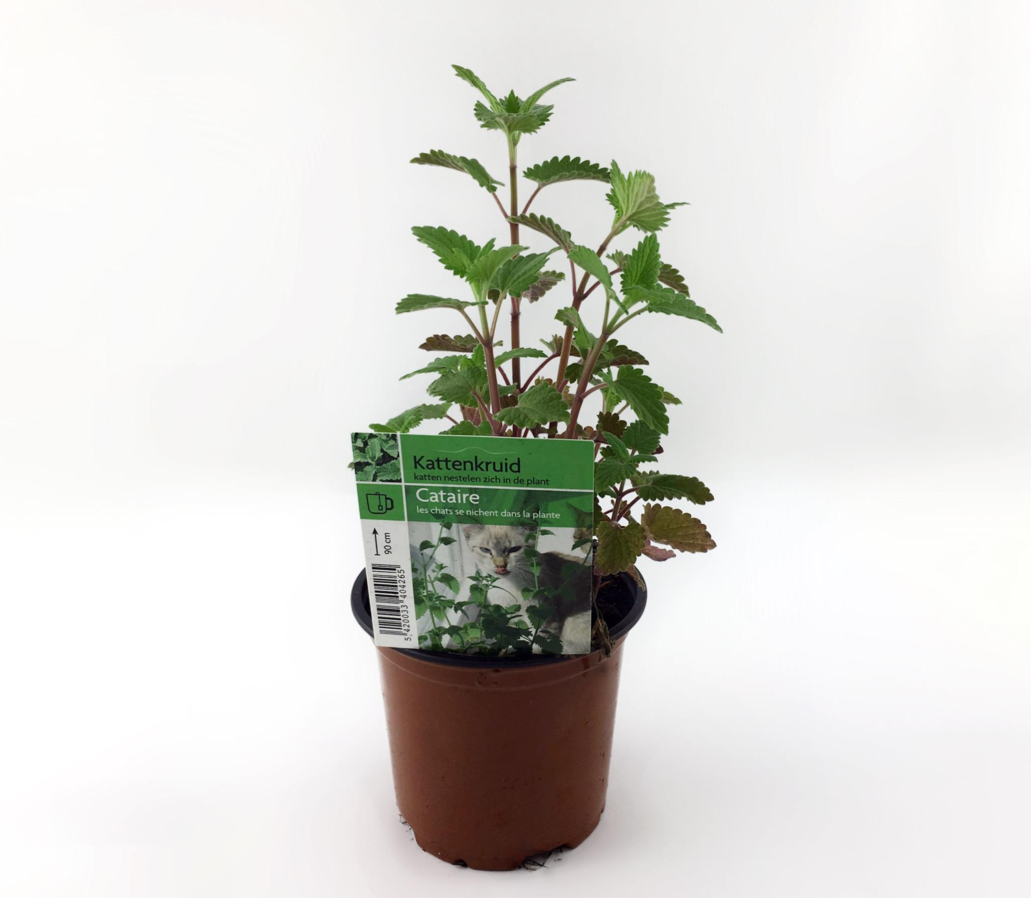 Katžolė vazone (catnip)