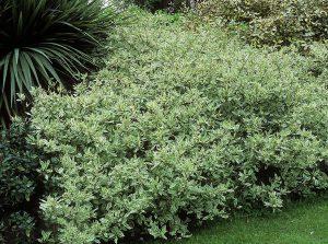 Krūmas sedula alba (cornus elegantissima)