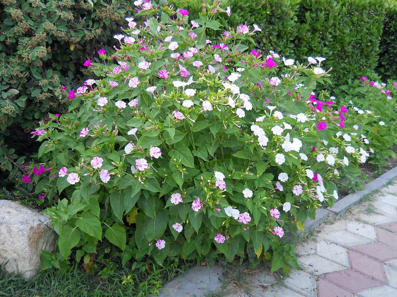 Lauko gėlė dyvinutė