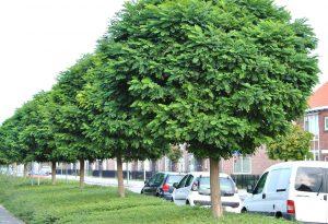 Medis baltažiedė robinija