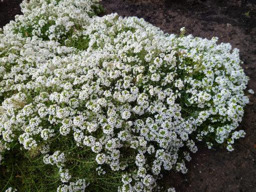 Gėlės nuotrauka. (Pavadinimas: Laibenis)