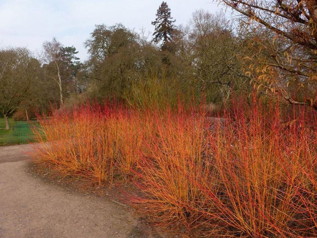 Sedula cornus saguinea (raudonoji) be lapų
