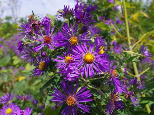 Gėlės nuotrauka. (Pavadinimas: New England aster)