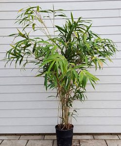 Vazoninis bambukas
