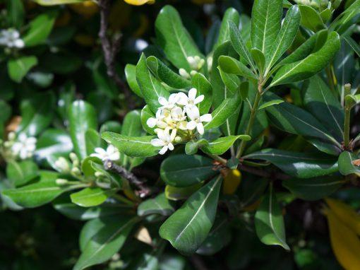Gėlės nuotrauka. (Pavadinimas: Delavay Tea Olive)