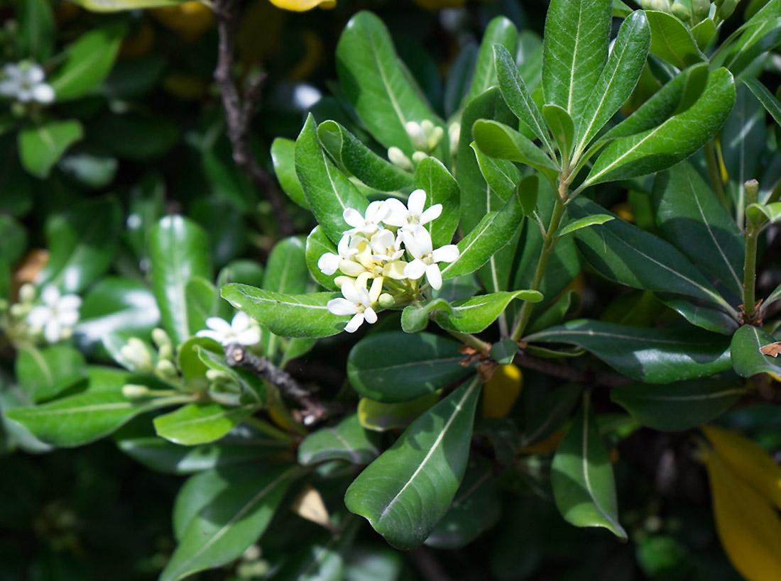 Gėlė Kvepenė
