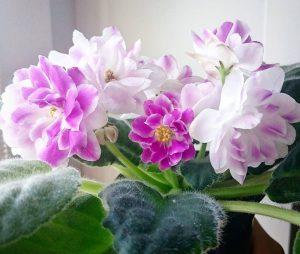 Baltai violetinė hibridinė sanpaulija