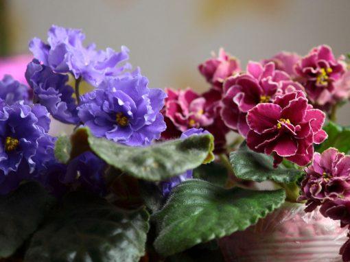Gėlės nuotrauka. (Pavadinimas: African violets)