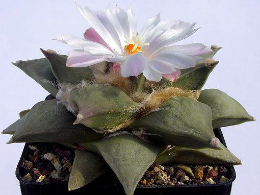 Gėlės nuotrauka. (Pavadinimas: Star rock cactus)