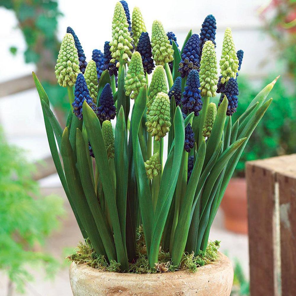 Gėlė belevalija vazone