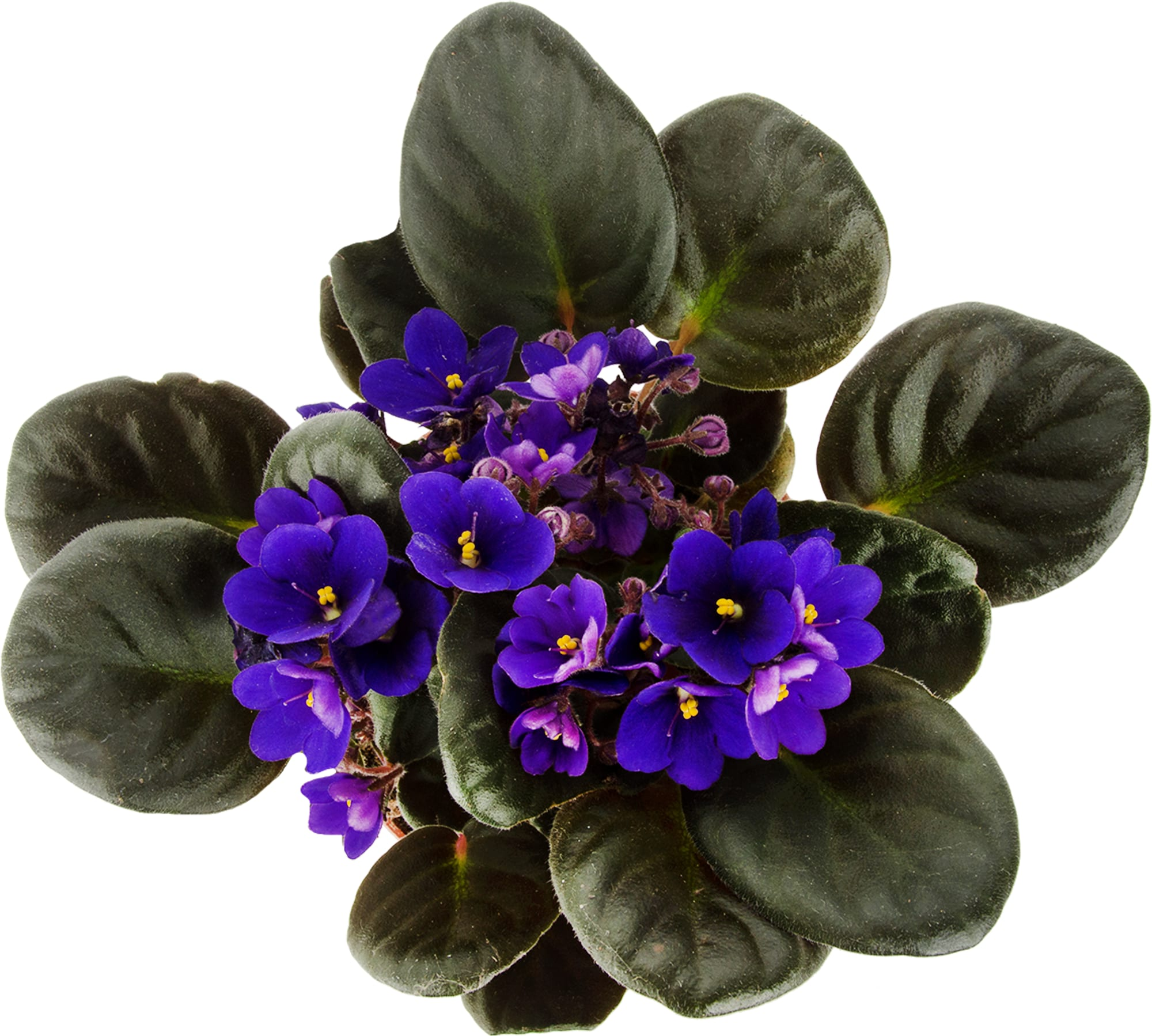 Gėlė sanpaulija