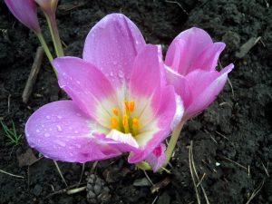 Gėlė vėlyvis
