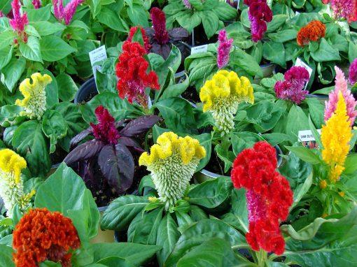 Gėlės nuotrauka. (Pavadinimas: Cockscomb)