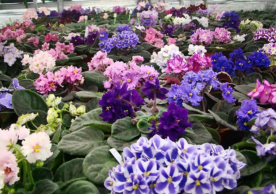 Įvairios gėlės sanpaulijos