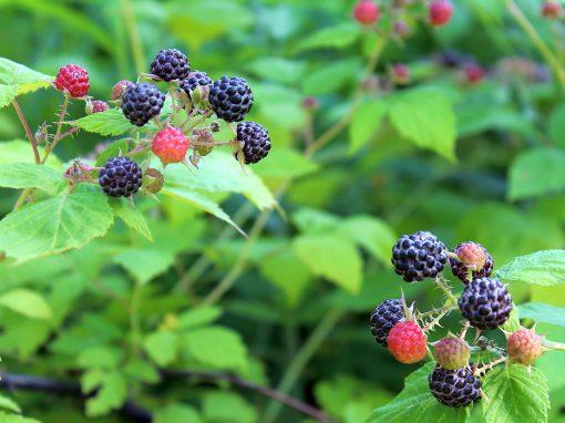 Gėlės nuotrauka. (Pavadinimas: Black Raspberry)