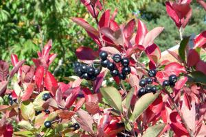 Juodvaisės aronijos vaisiai