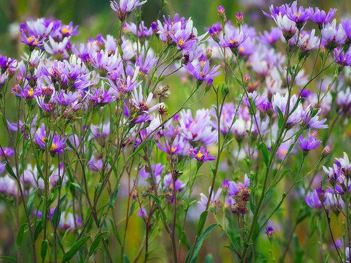 Gėlės nuotrauka. (Pavadinimas: European Michaelmas-daisy)