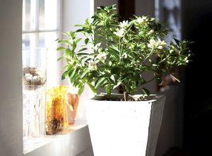 Kambarinis medis osmantas (Kvepenė)