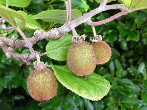 Kiviai - aktinidijos vaisiai