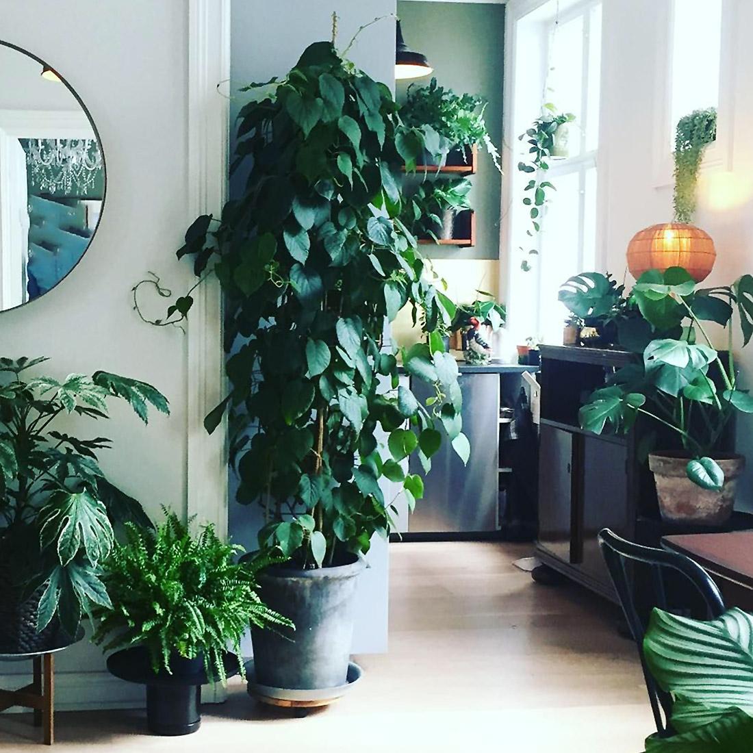 Kivis (Aktinidija) Namuose