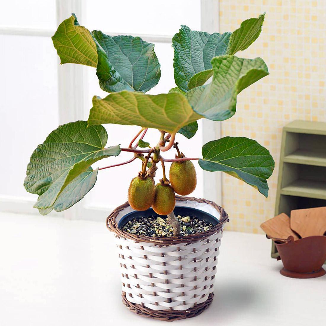 Kivių auginimas namuose