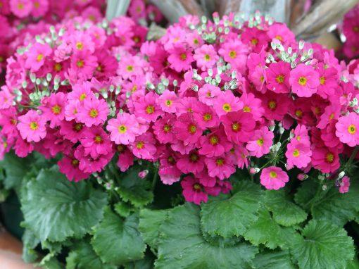 Gėlės nuotrauka. (Pavadinimas: Fairy Primrose)