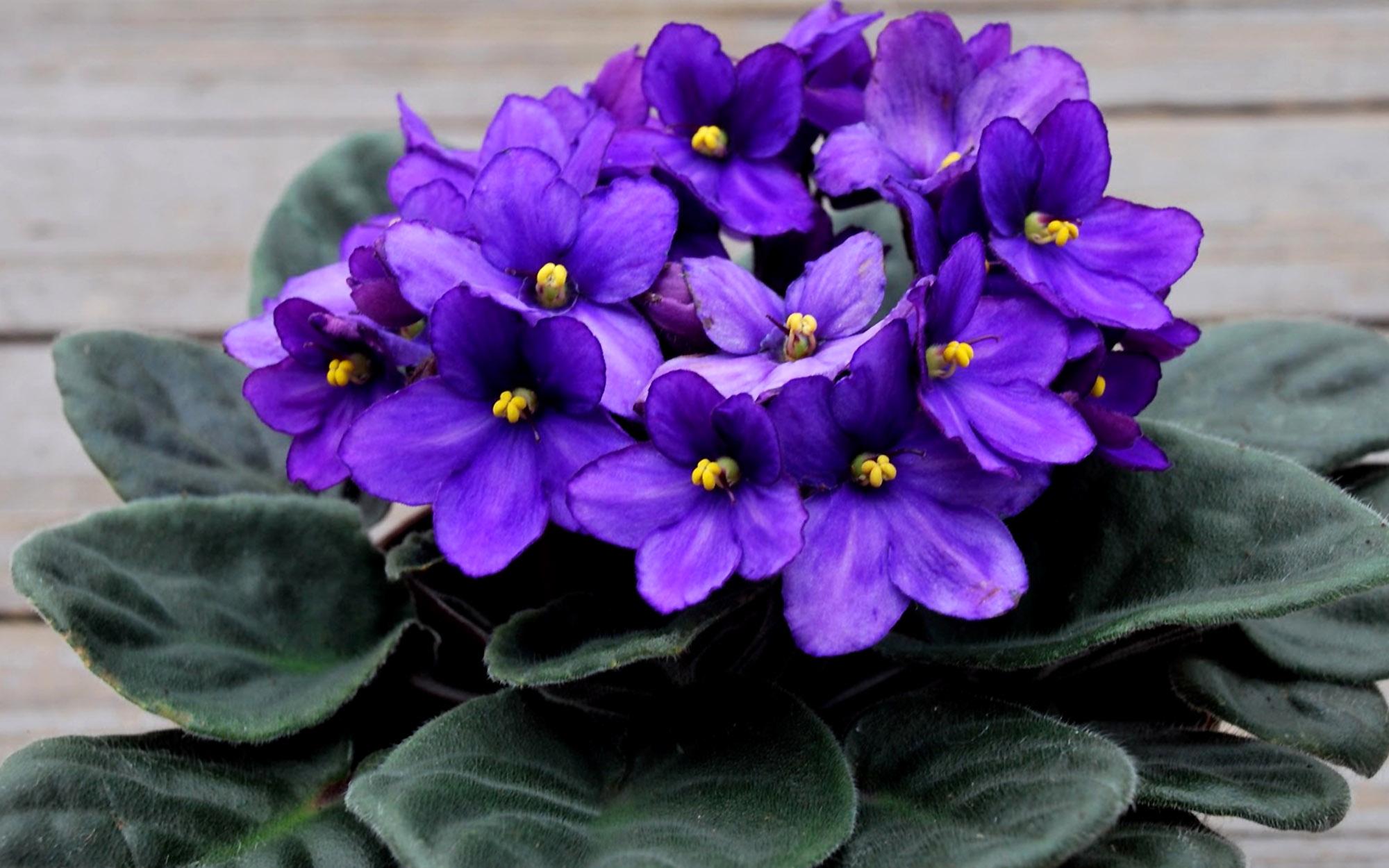 Mėlynai violetinė sanpaulija