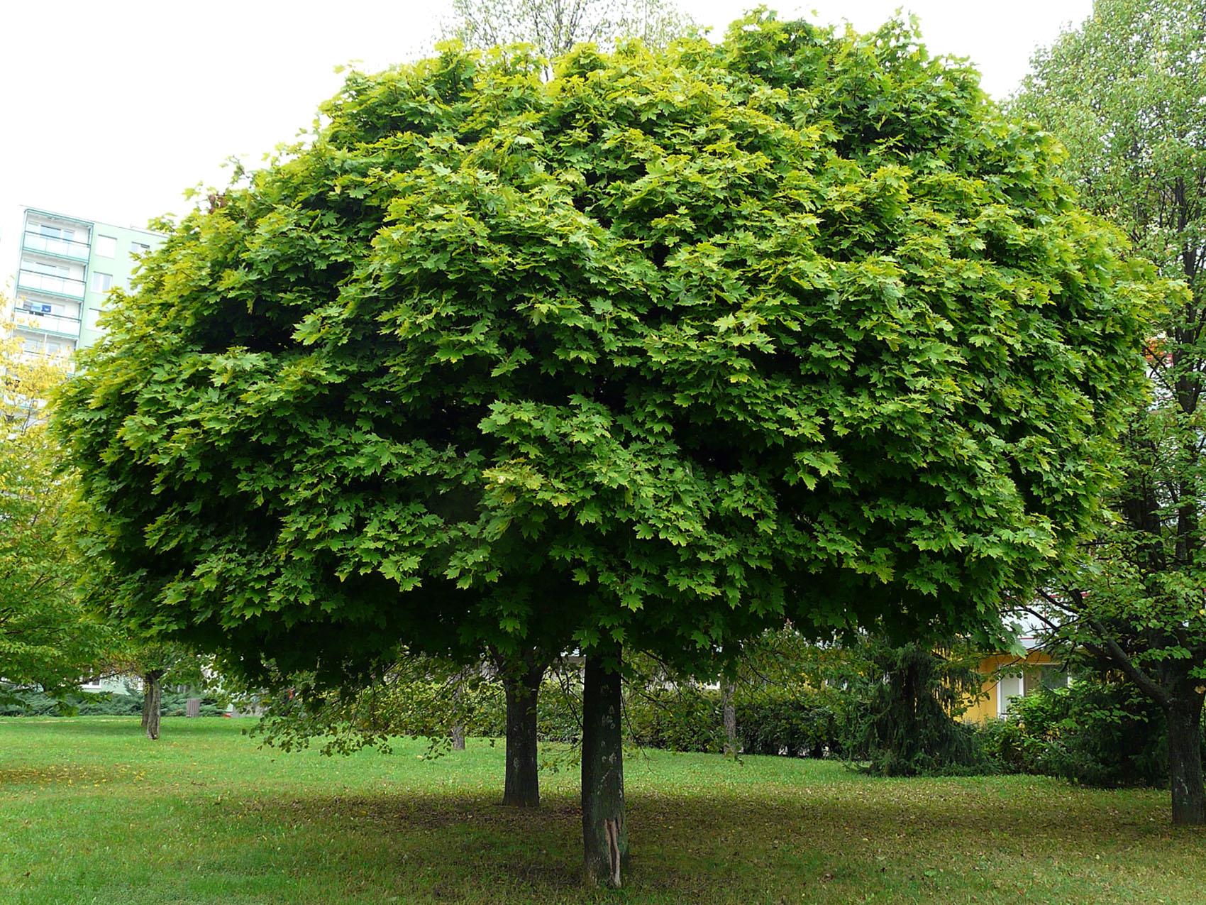 Plantanalapis klevas (acer pseudoplatanus)