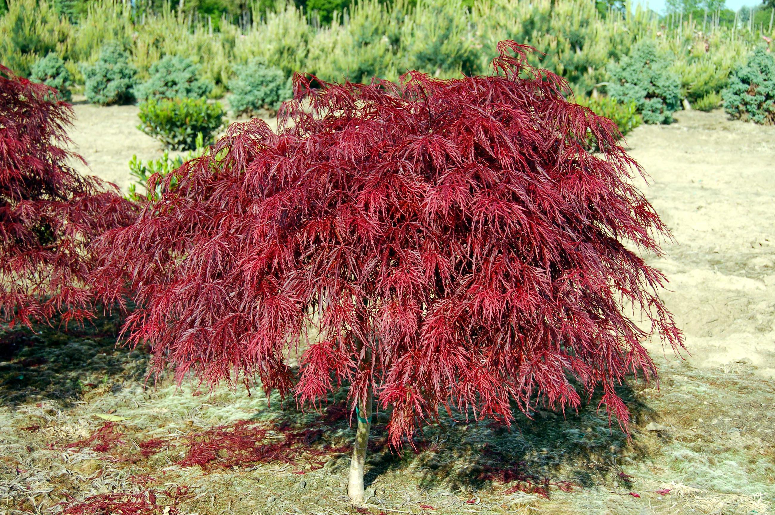 Plaštakinis klevas (acer palmatum)