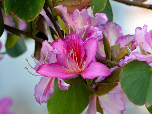 Gėlės nuotrauka. (Pavadinimas: Orchid tree)