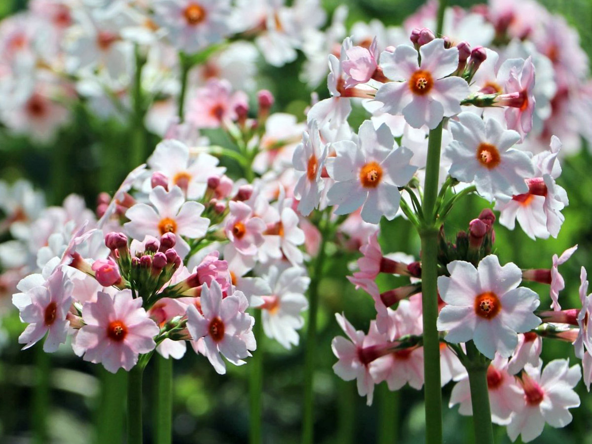 Raktažolė primula japonica