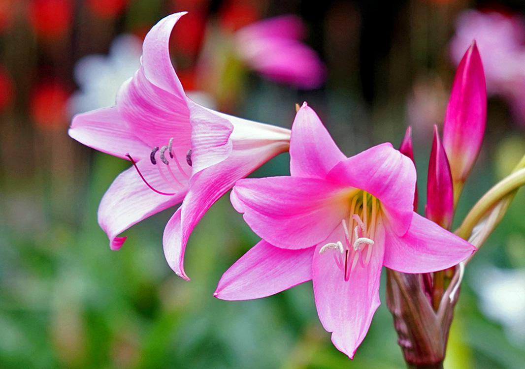 Rausvai žydinti gėlė krinas