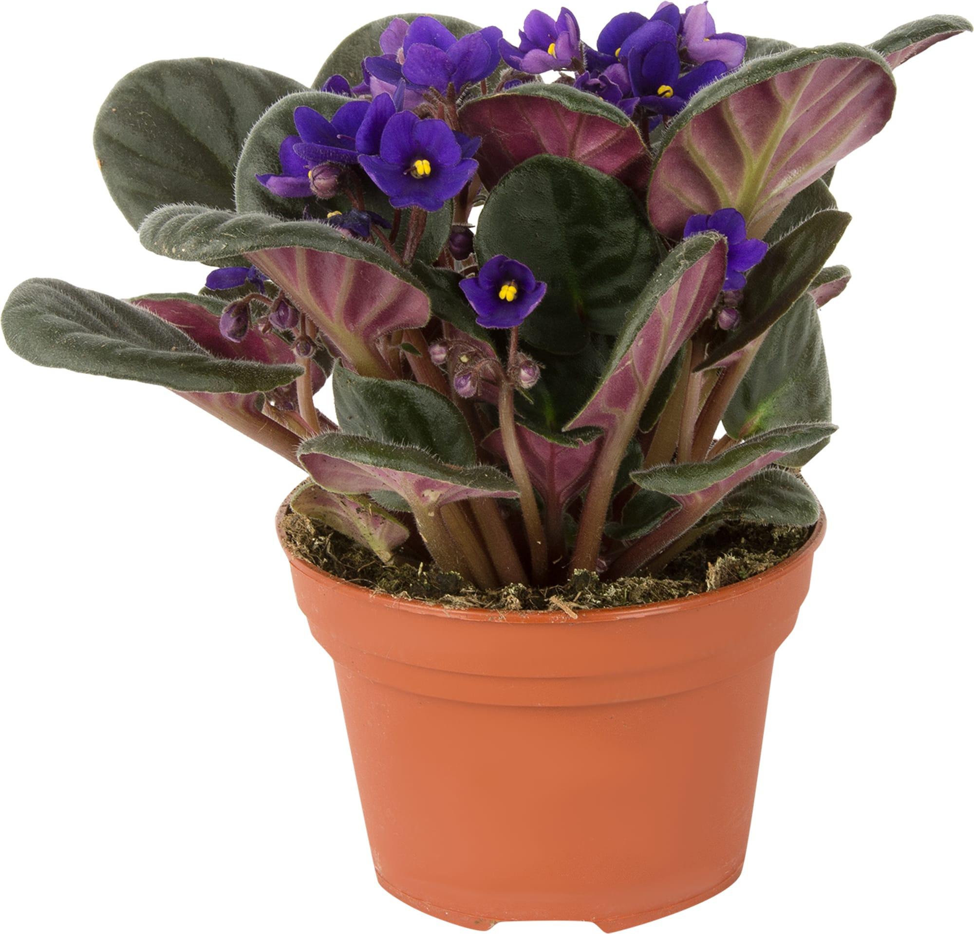 Sanpaulija (Vazoninė gėlė)